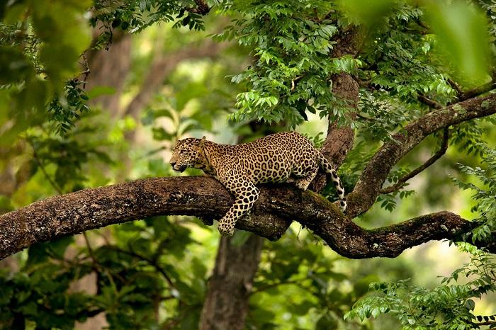Леопард, выслеживает добычу. Фотограф: Suyash Keshari.