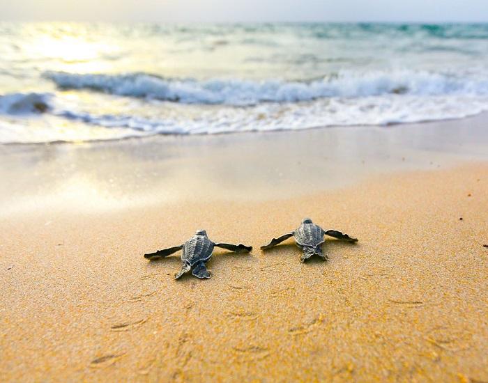 Кожистая черепаха является самой необычной из морских черепах. Фотограф: Бен Хикс (Ben Hicks).