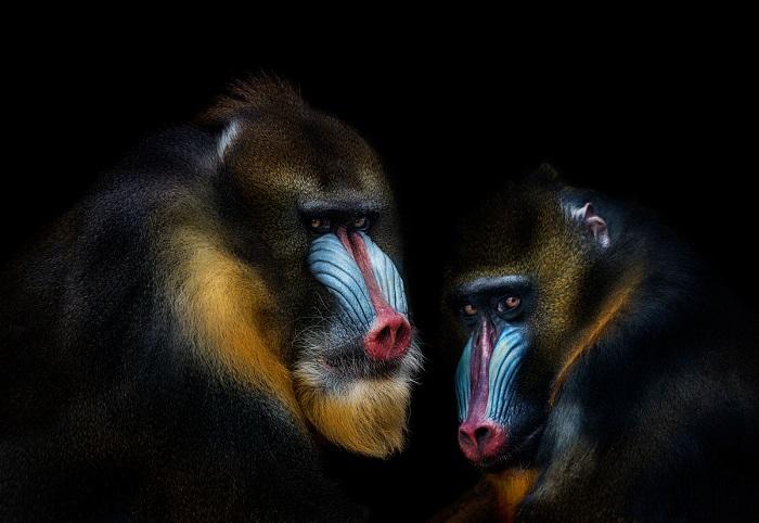 Крупные обезьяны, не относящиеся к статусу человекообразных. Фотограф: Pedro Jarque Krebs.