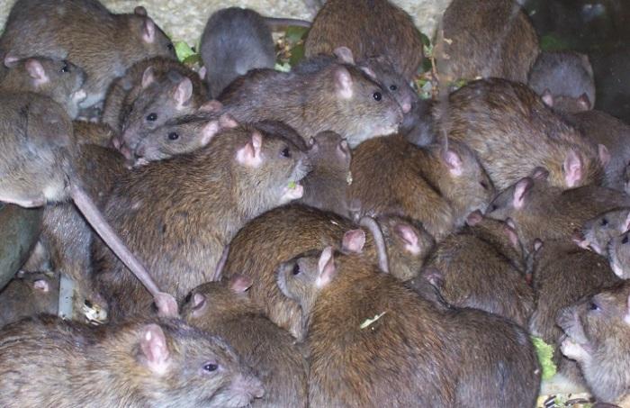 Крысы появились на Земле на 48 миллионов лет раньше, чем люди. | Фото: livejournal.com.