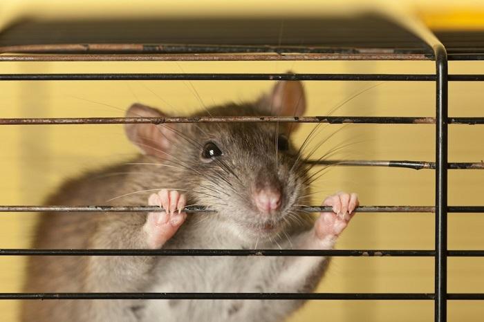 Крысы способны легко перегрызать твердые субстанции. | Фото: pixers.ru.
