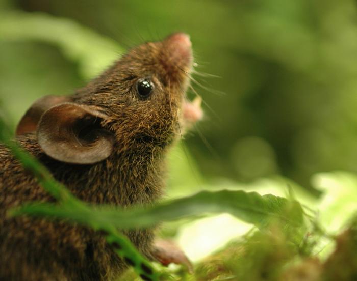Общаются крысы друг с другом, не привлекая внимания хищников издавая свистящие звуки горлом. | Фото: kharkov.ua