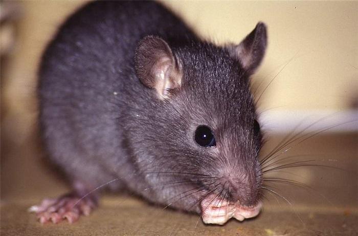 Крысе требуется всего 50 миллисекунд, чтобы понять, откуда идет запах. | Фото: rofakihuwegeq.tk.