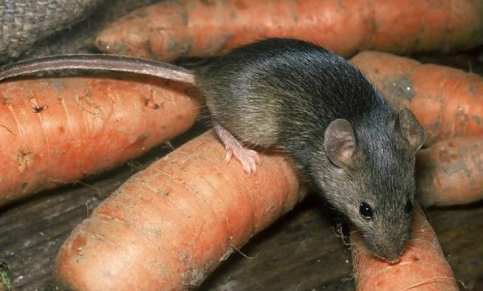 Крыса в год потребляет около 12 кг продуктов. | Фото: auseifx.my-php.net.