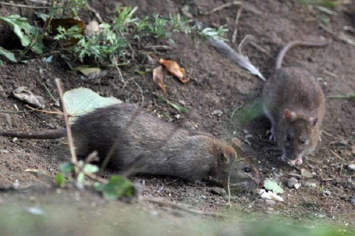 Крысы способны отличить отравленную пищу от обычной. | Фото: vesti-ua.net.