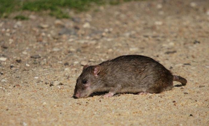 Крыса может жить без воды дольше, чем верблюд. | Фото: o-prirode.com.