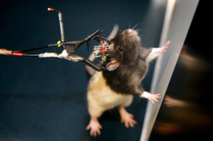 Крысы могут умереть от психического потрясения или продолжительного стресса. | Фото: dotomuz.ru.