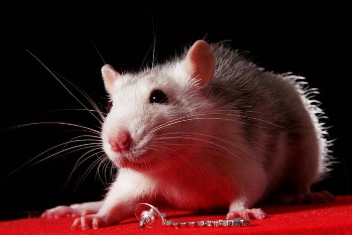 Крыса — единственное млекопитающее, кроме человека, которое умеет смеяться. | Фото: allwantsimg.com.