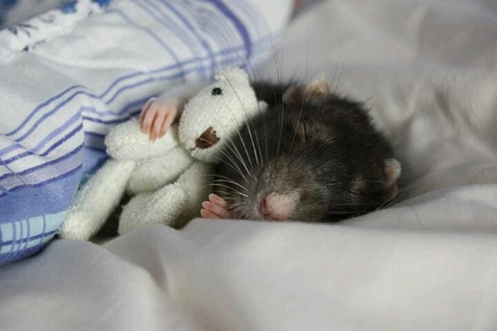 Крысам тоже снятся сны. | Фото: ratnet.od.ua.