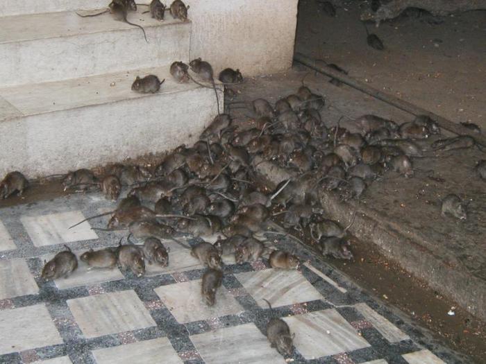 Крысиная семья владеет участком, радиус которого около 150 м. | Фото: cleanmoscow24.ru.