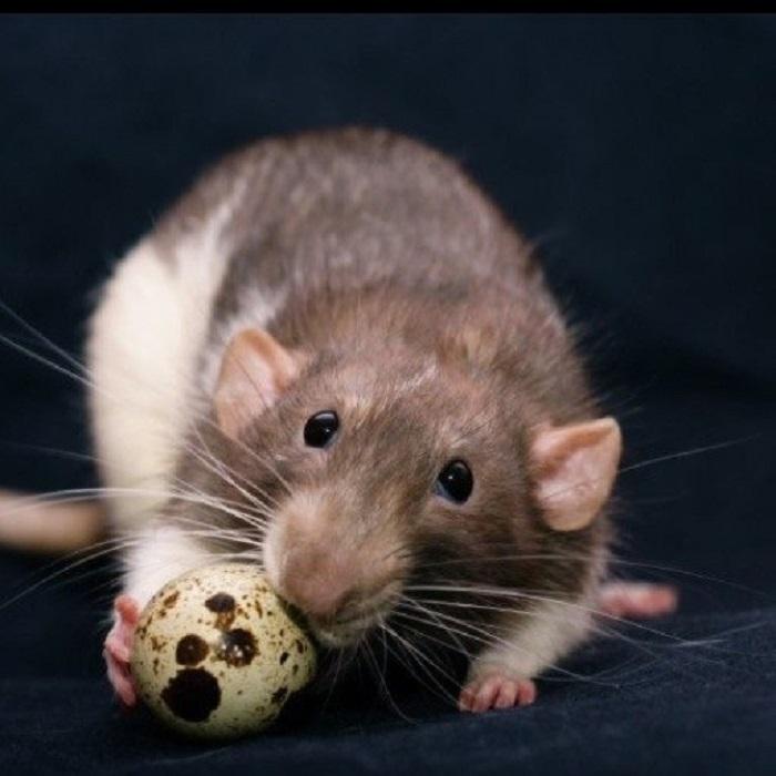 Ученые выдвинули версию, что крысы массово высасывали содержимое яиц динозавров, прекратив тем самым продолжение их рода. | Фото: vk.com.