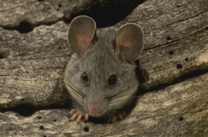 В Европе по указанию одного из епископов крысы были отлучены от церкви. | Фото: appspot.com.