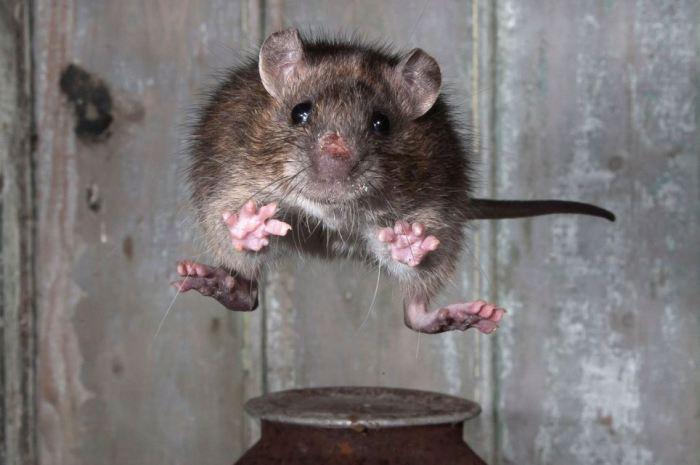 Серые крысы способны перемещаться со скоростью 10 км/ч, прыгать вверх на высоту до 80 см, а в агрессивном состоянии — до 2 метров. | Фото: geo.ru.