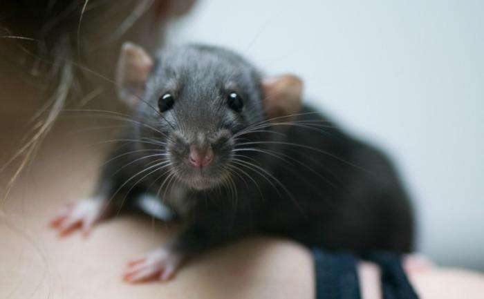 У крысы сердце пульсирует со скоростью 500 раз в минуту. | Фото: kotopes.ru.