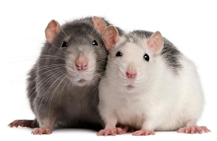 Всемирный день крысы. | Фото: dreamstime.com.