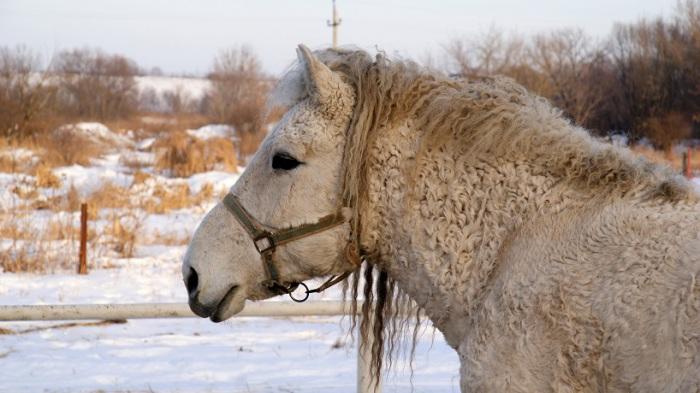 Длинная и кучерявая шерсть позволяет этой лошади переносить более суровые морозы.