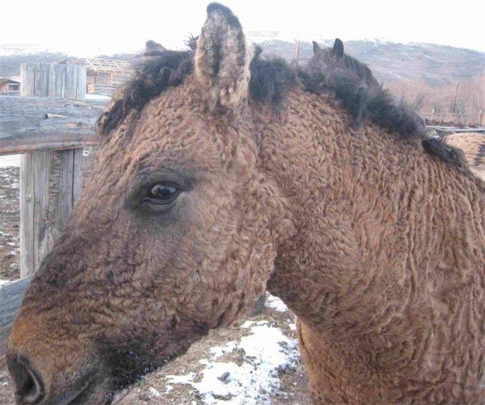 Аборигенная порода лошадей.