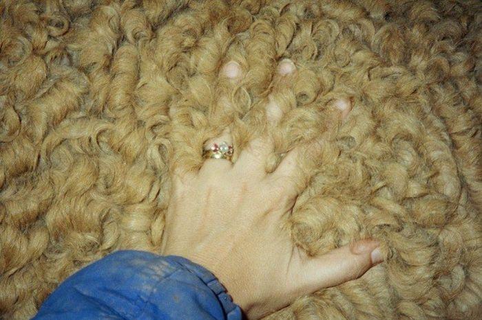 Лошади породы кучерявая Забайкальская отличаются особой шерстью.