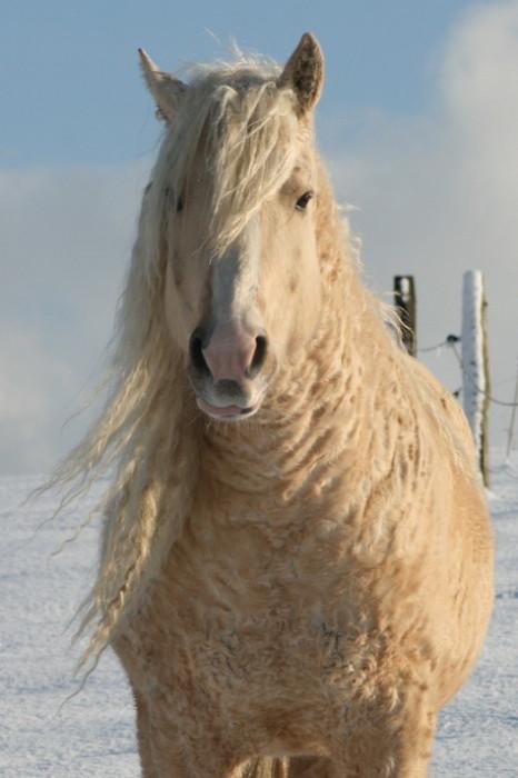 Высота кудрявой лошади от 147 до 150 см.