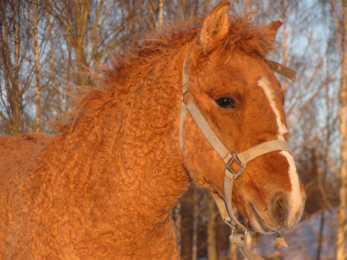 Порода, получившаяся от смешения лошадей древних тюрков, населявших Забайкалье, и лошадей монгольских племен.