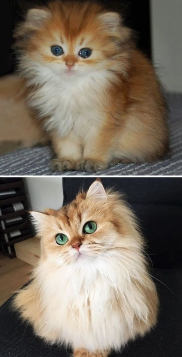 Смуни котенок и взрослая кошка.