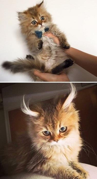 С возрастом Нико все больше становился похожим на рысь.