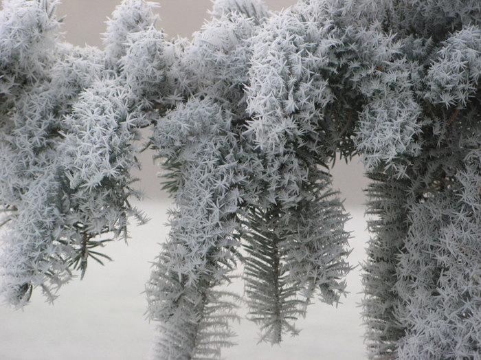 Зимняя сказка прикоснулась своей волшебной палочкой к ветвям хвойных деревьев. Автор фотографии: Cindi Girard.