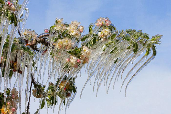 Весенние сосульки на яблоне - необычное явление природы весной. Автор фотографии: Thomas Zagler.