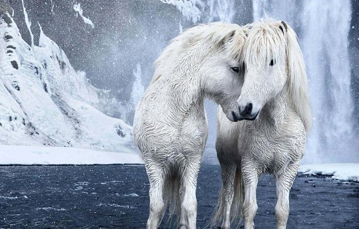 Фотографии исландских лошадей на фоне зимних пейзажей.