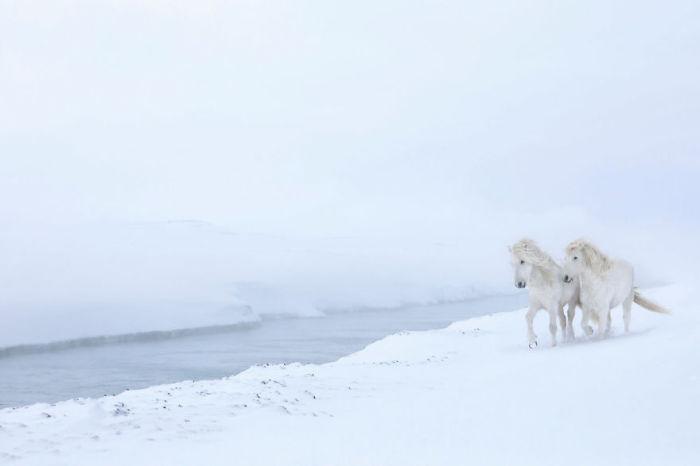 Главные герои снимков – уникальные потомки лошадей древних воинственных викингов.