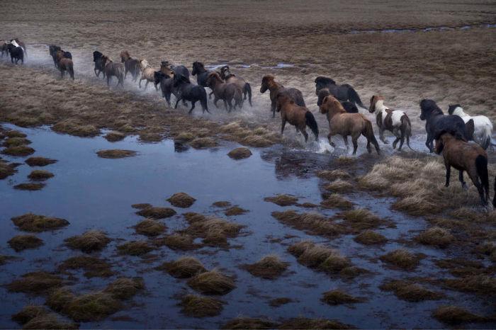 Благодаря более, чем 1000-летней изоляции, порода исландских лошадей сохранились в первоначальном виде.