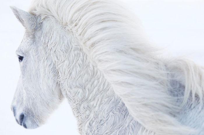 Сегодня исландская порода лошадей - единственная, которая существует на острове.