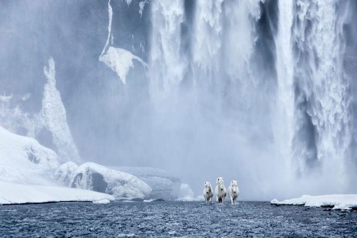 Исландские лошади идеально приспособлены для жизни в столь экстремальных условиях.