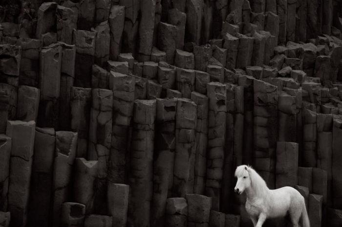 Густая и плотная шерсть позволяет исландским лошадям не бояться холодов, ледяной воды и пронизывающего ветра.
