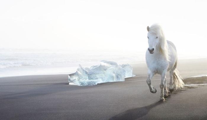 Отсутствие естественных врагов на острове Исландия сделало лошадей спокойными и доверчивыми.