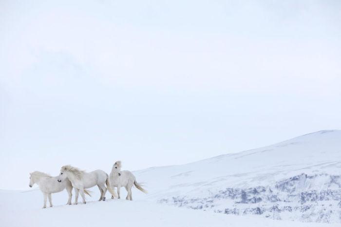 Тройка белых исландских лошадей запечатлена фотографом Дрю Доггетом на фоне сказочного зимнего пейзажа.