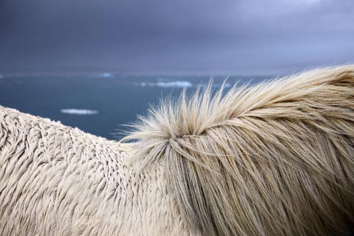 Густая шерсть и грива исландской лошади – отличная защита от воды и холода.
