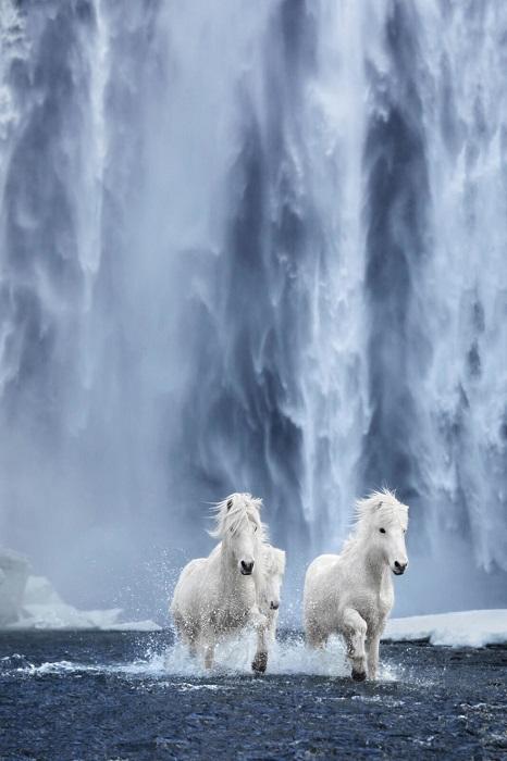 Исландские лошади – невероятно красивые, изящные и царственные животные, живущие в экстремальных условиях.