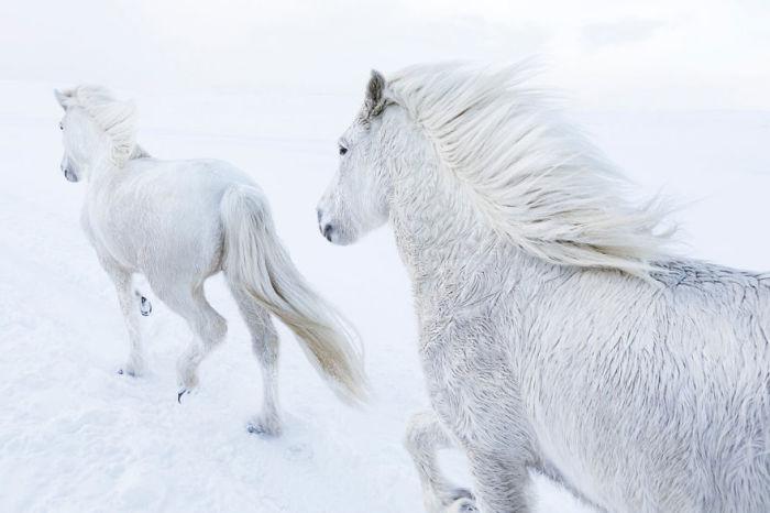 С помощью своего мастерства нью-йоркский фотограф сумел запечатлеть мистическую красоту исландских лошадей.