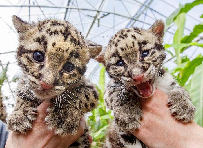 Дымчатые леопарды, родившиеся в начале марта 2015 года в зоопарке Бельгии. Фотограф Ивис Херман (Yves Herman).