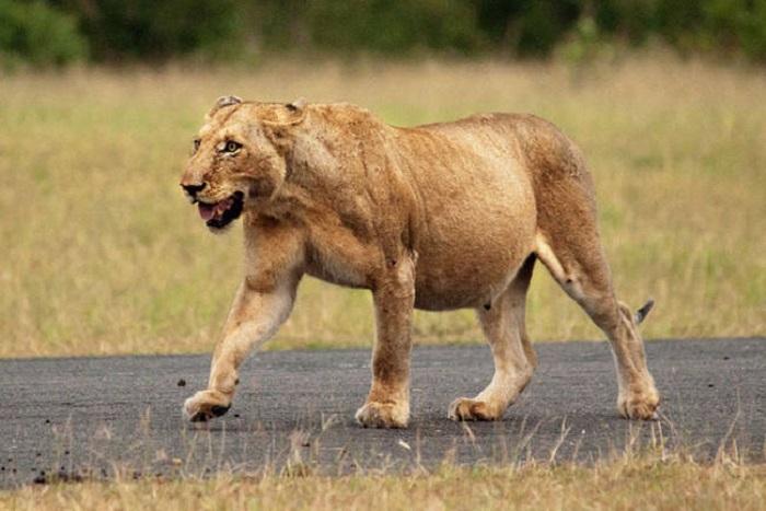 Беременная львица.