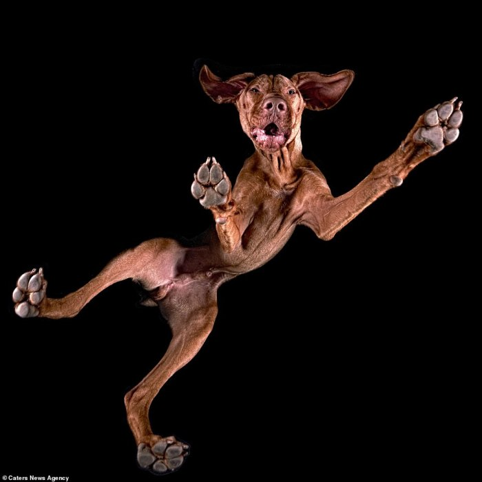 Мускулистый пес с аристократическим взглядом.