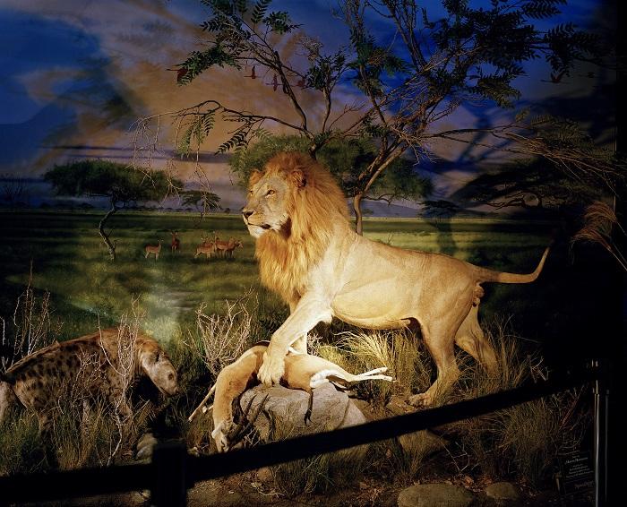 Лев Сесил, убитый охотниками в национальном парке Зимбабве. Фотограф: Дэвид Ченселлор (David Chancellor), Великобритания.