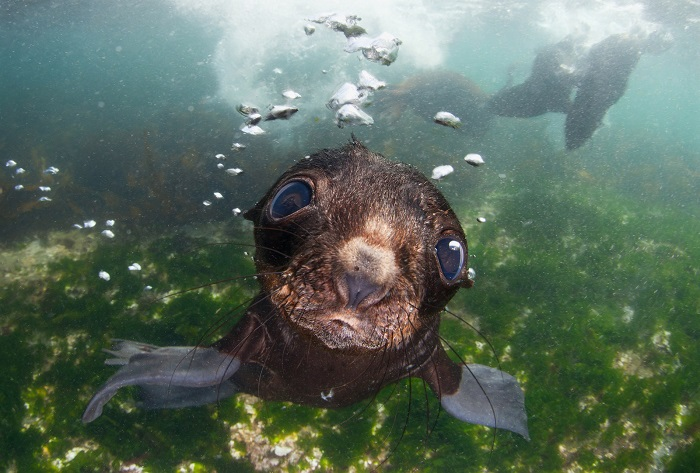 Морской котик в водах Берингова моря. Фотограф: Андрей Нарчук (Andrey Narchuk), Россия.