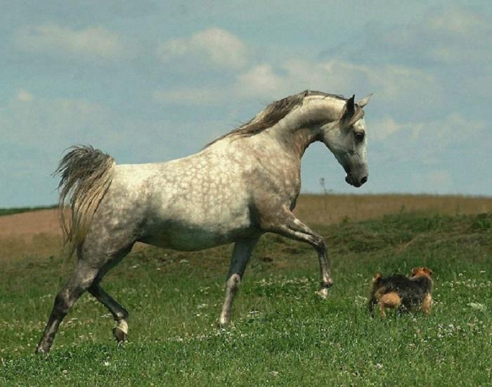 Высоко поднятый хвост у лошади среди бедуинов считался признаком гордости.