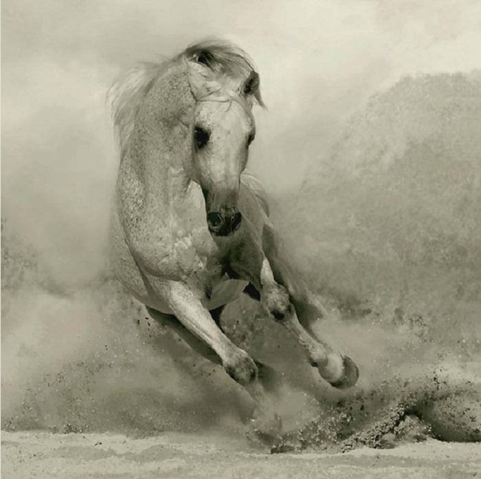 Современные арабские лошади очень ценятся за свой нарядный и ярко выраженный породный тип.