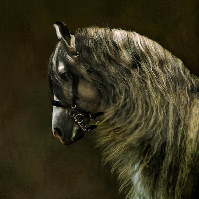 Лошади андалузской породы могут похвастаться очень густой гривой и хвостом.