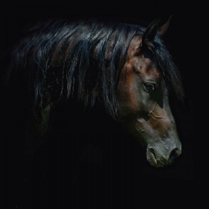 Арабские лошади легко преодолевают большие расстояния.