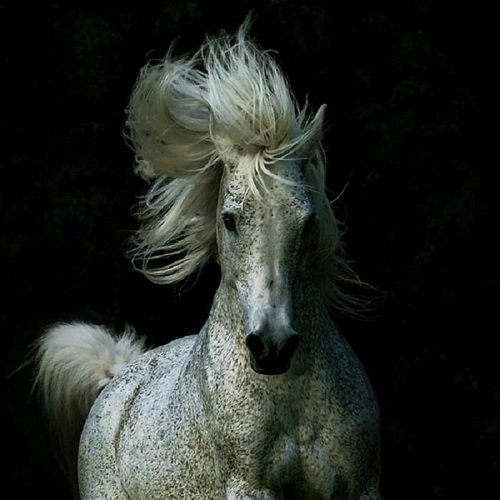 С возрастом у арабских лошадей серой масти появляются мелкие цветные пятнышки – «гречка».