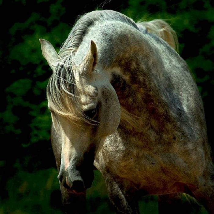 В 1980-х годах арабских лошадей продавали как настоящие произведения искусства.